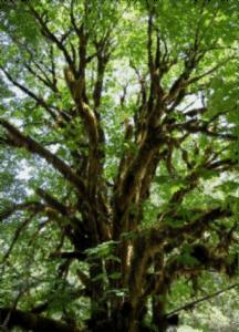 acer-macrophyllum