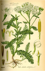 achillea-millefolium2