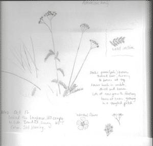 achillea-millefolium3