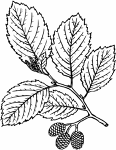 alnus-rubra