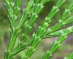 calocedrus-decurrens-2