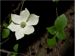 cornus-nuttallii