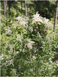 holodiscus-discolor