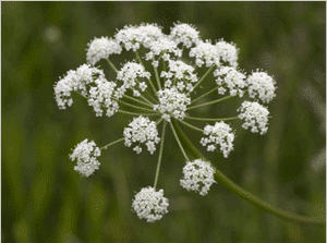 ligusticum-apiifolium