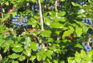 mahonia-berberis-aquifolium