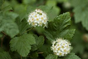 physocarpus-capitatus