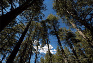 pinus-ponderosa