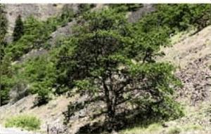 quercus-garryana2