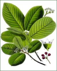 rhamnus-purshiana