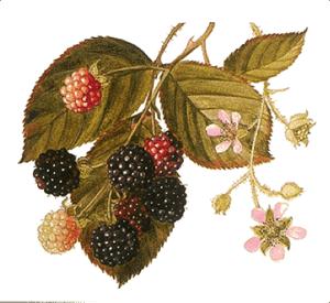 rubus-leucodermis