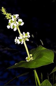 sagittarialatifolia