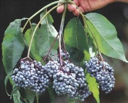 sambucus-caerulea