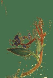 sambucus-caerulea2