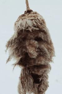 typhalatifolia2