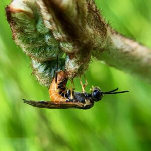 Fern Sawfly