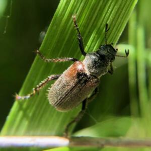 May beetle 1