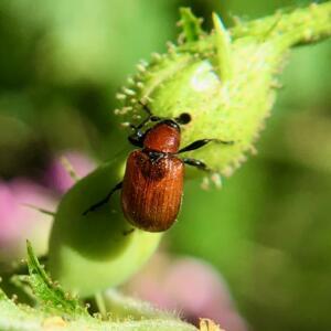 Rose weevil bud