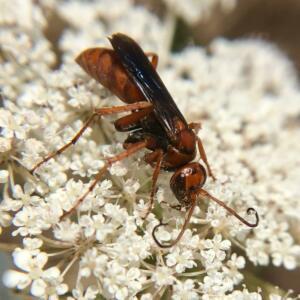 spider wasp 2